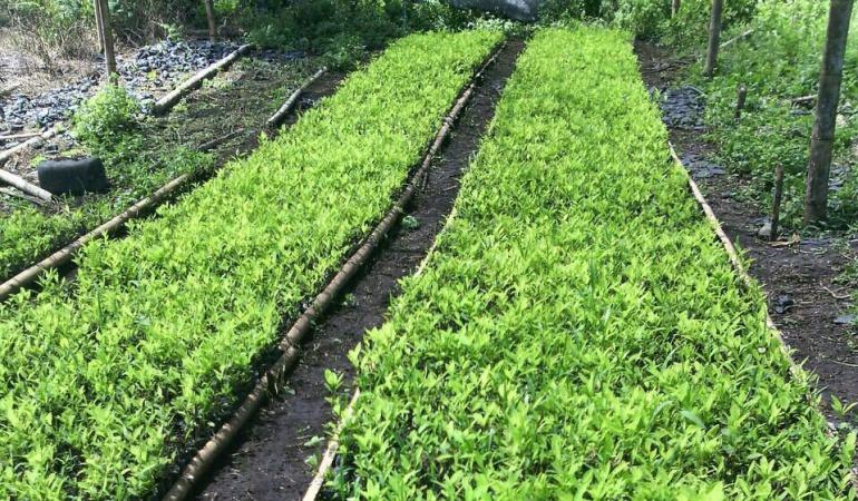Erradicación manual de cultivos ilícitos.