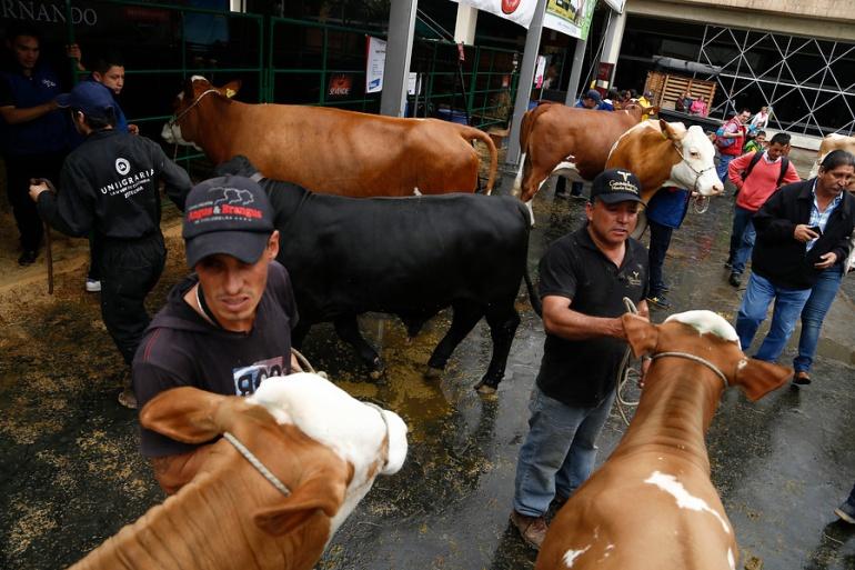 Fenómeno del Niño afecta producción en la Costa: Fenómeno del niño podría disminuir producción de leche y carne en la Costa