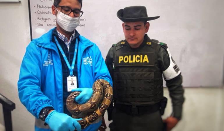Boa en autobús de Bogotá.: Encuentran una boa constrictor de más de un metro en un autobús de Bogotá