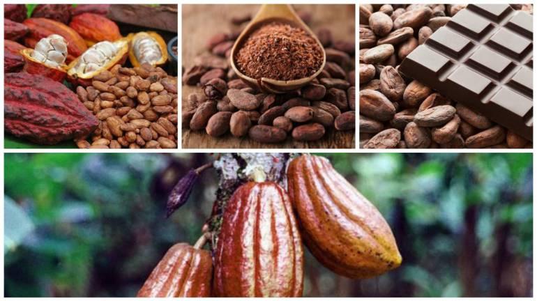 CACAO, PRODUCCIÓN, TECNOLOGÍA: Alianza entre la UIS y SENA fortalece procesos de transformación del cacao