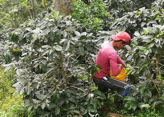 Desde la Sierra Nevada, café orgánico con sabor indígena