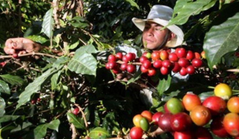 Cafeteros esperan recoger más de 5 millones de arrobas en esta cosecha