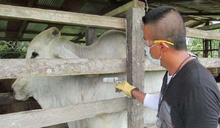 Minagricultura pide que ganaderos permitan vacunación contra la aftosa