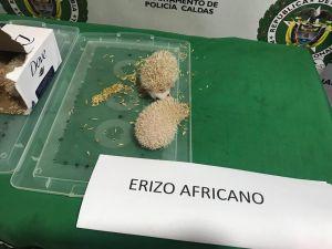 Captura, Erizos de mar, Manizales - Pereira, Fauna silvestre: Un hombre fue capturado por transportar cuatro erizos africanos