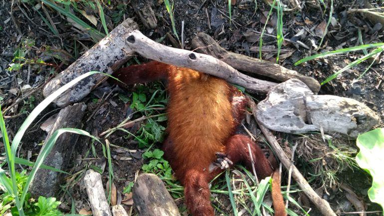 En Santa Marta aparecen muertos varios monos colorados