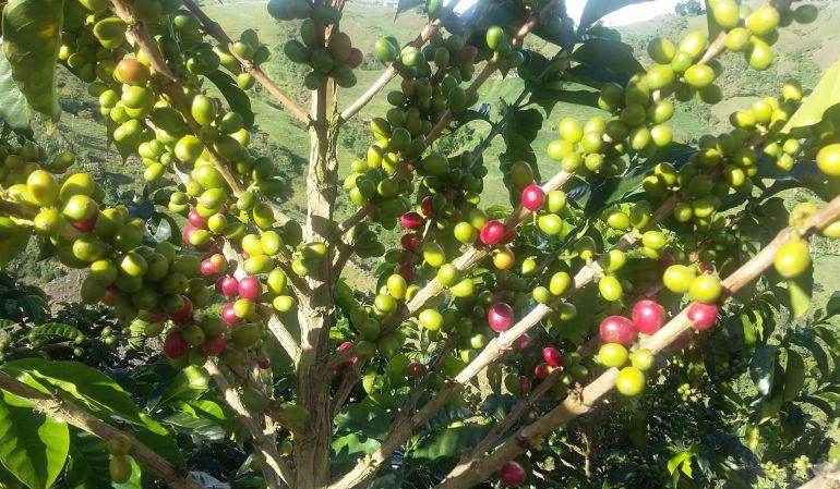 Café, IVA, economía, Gremio cafetero, Gobierno Nacional: IVA del 18% afectaría el consumo y venta del café tostado en toda Colombia