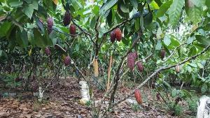 Variedad de cacao ecuatoriano mejora producción en Colombia