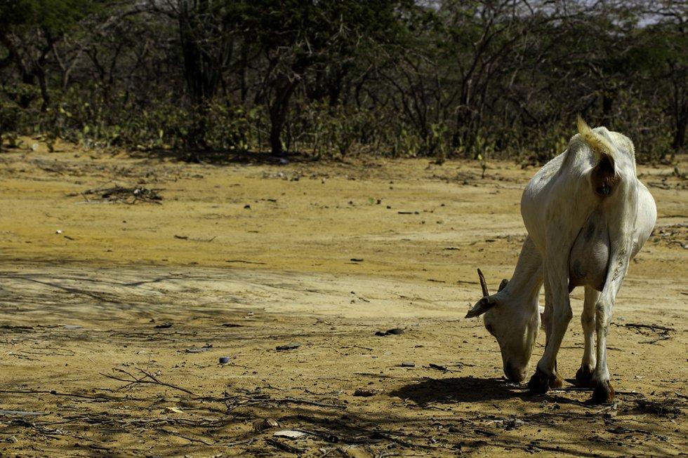 Animales dentro de las rancherías buscando agua.