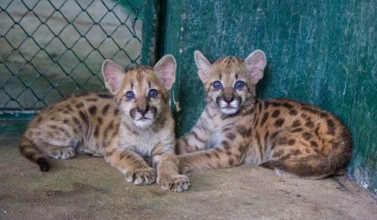 Pumas en Colombia: Recuperados tres pumas en el Vichada