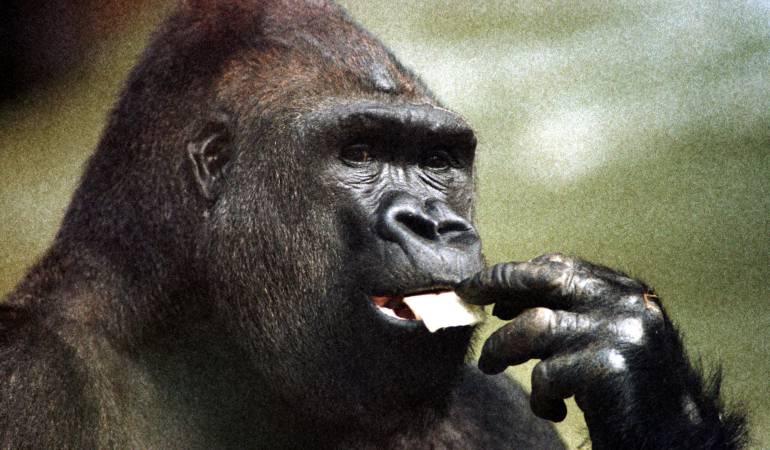 La caza ilegal amenaza a los grandes simios con la extinción