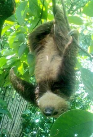Noticias ecológicas: Osa perezosa, liberada en área protegida del Huila