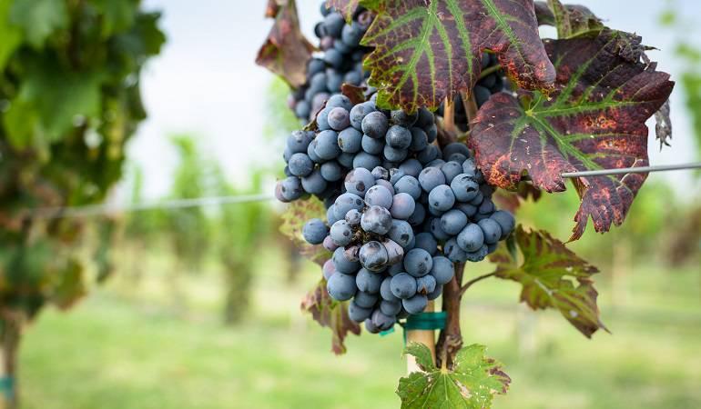 Lo Más Caracol: Industria vinícola una oportunidad para el campo