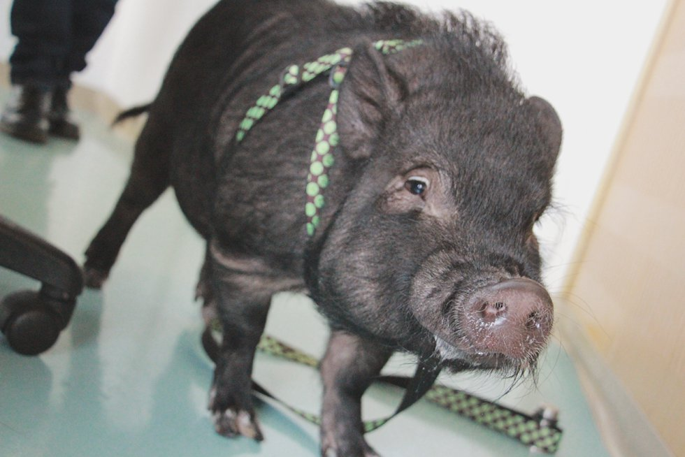 Pipo el mini pig
