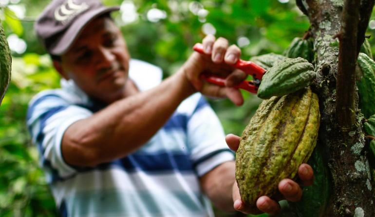 #CaracolALCampo cacao: La carmenta negra amenaza las plantaciones de cacao
