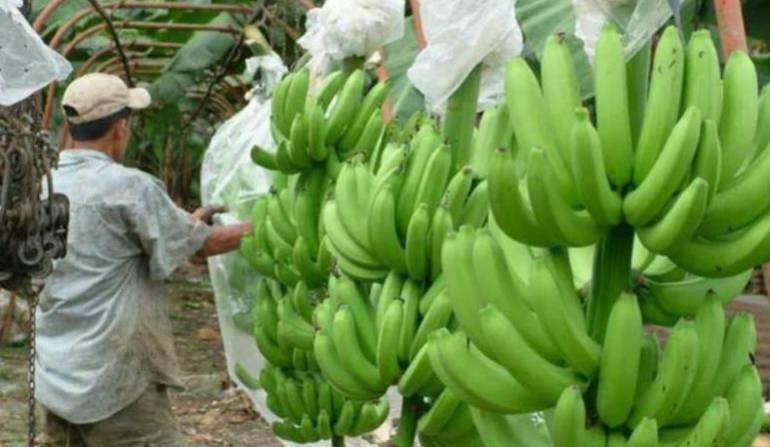 Racimos de plátano