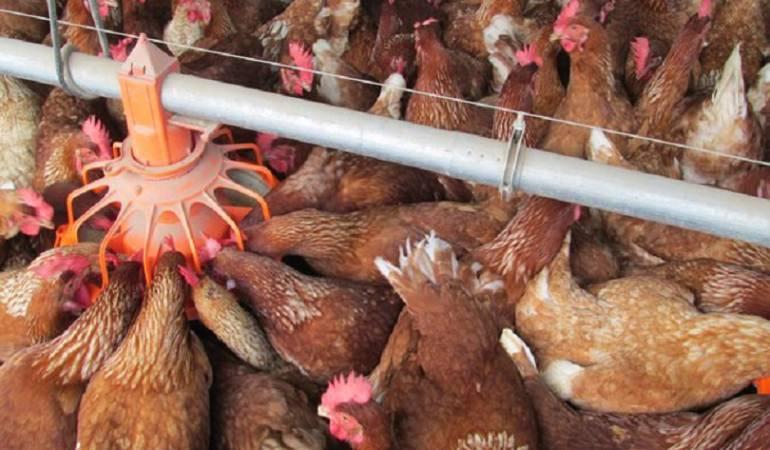 Producción avícola en Colombia