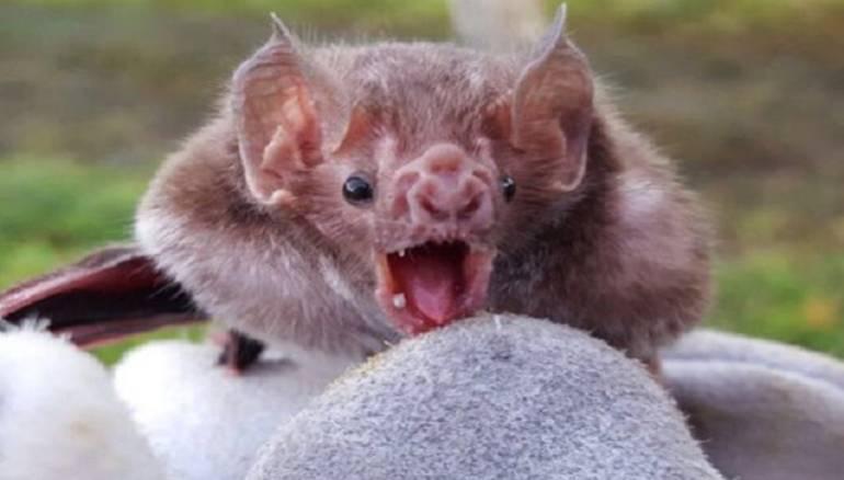 Murciélago que causa la rabia bovina
