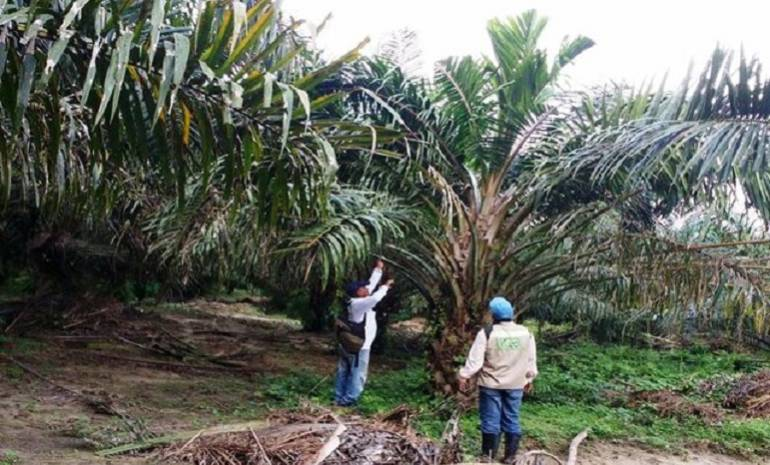 Plantaciones de palma en Magdalena