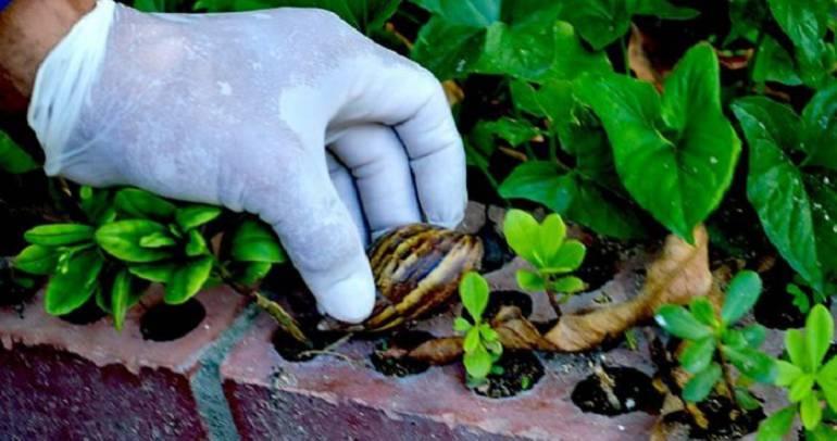 Coja los caracoles con guantes o con otra protección