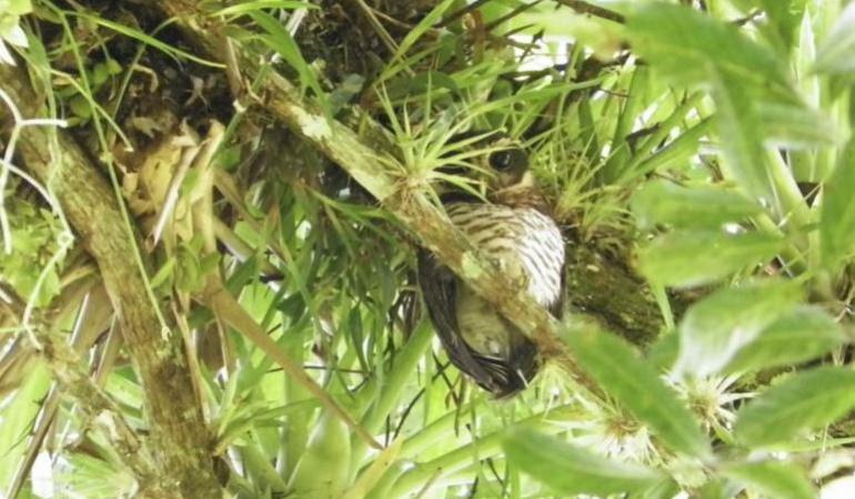 Búho barrado avistado en Boyacá