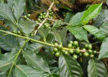 Café orgánico de la Sierra Nevada, con el agradable aroma Caribe