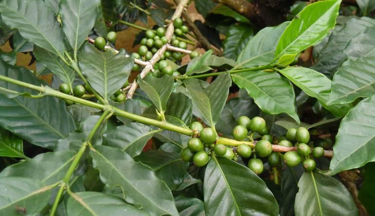 Arbusto de café