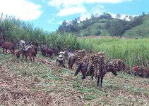 Colombia trabaja en nuevas variedades de caña panelera