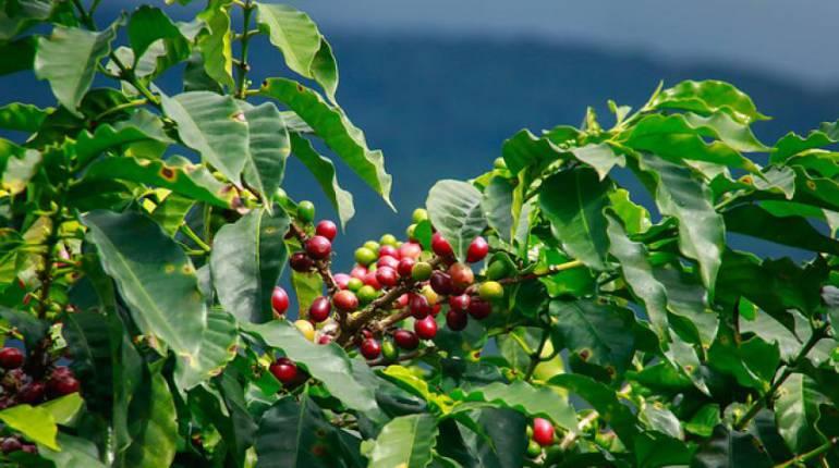 Cafe clima: El 88% de las tierras cafeteras sufrirán por el cambio climático