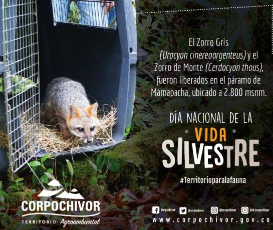 Vida silvestre: Liberan a dos zorros en el suroriente de Boyacá