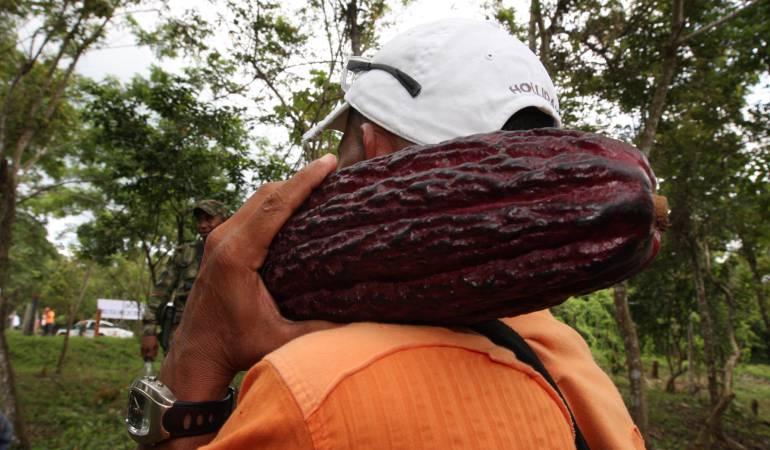 Cosecha de cacao