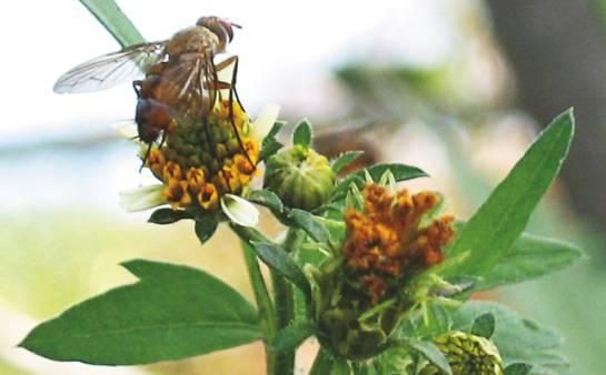 Diatrea caña de azúcar: Con moscas y avispas combaten gusano que ataca la caña