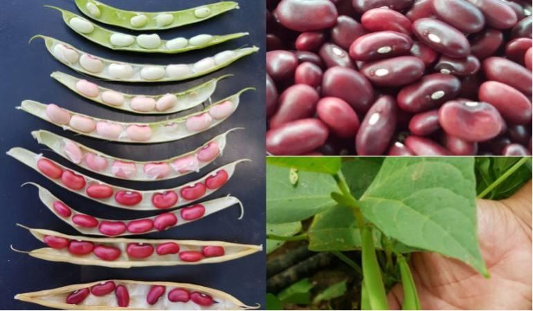 Desnutricion La Guajira Caribe: Nueva variedad de fríjol para combatir la malnutrición
