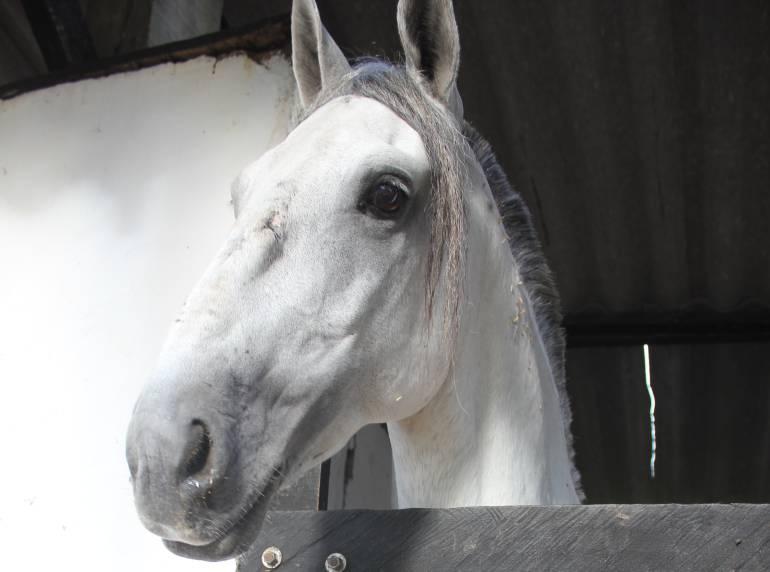 Influenza equina caballos, burros, mulas: Alerta por gripe equina: hay 2.700 caballos enfermos