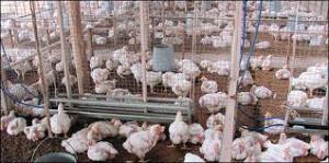 Avicultura carne nutrición: ¿Es mejor comer pollo o gallina?