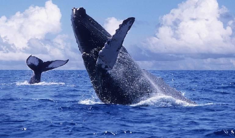 Las Ballenas Jorobadas, el encanto de la naturaleza en el Pacifico.