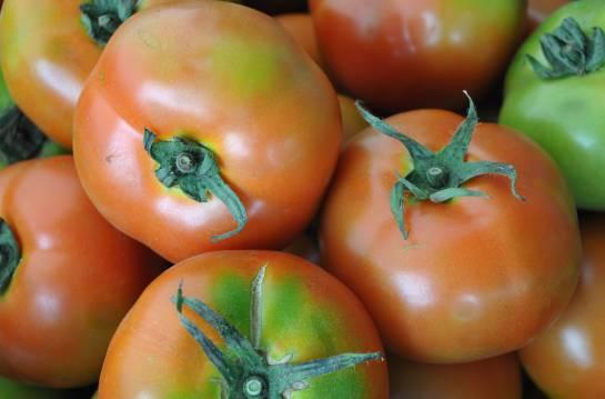 Plagas en los tomates: Los gusanos que amenazan a los tomates