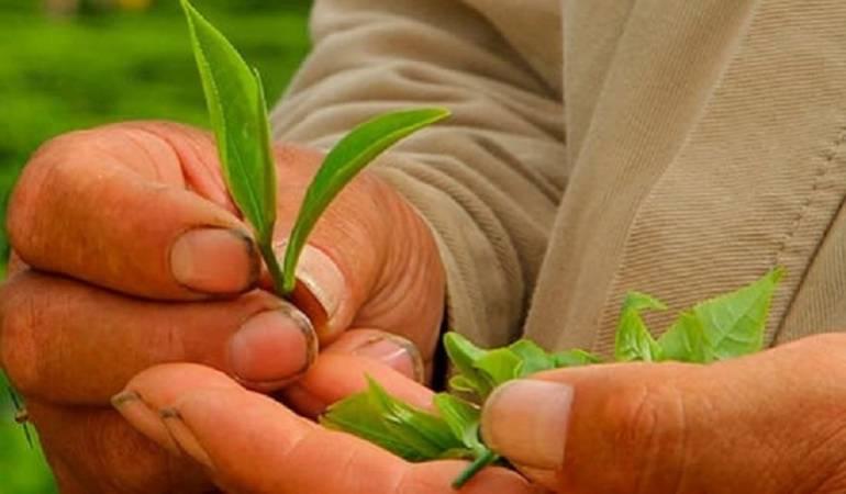 Hojas de té cultivadas en Colombia