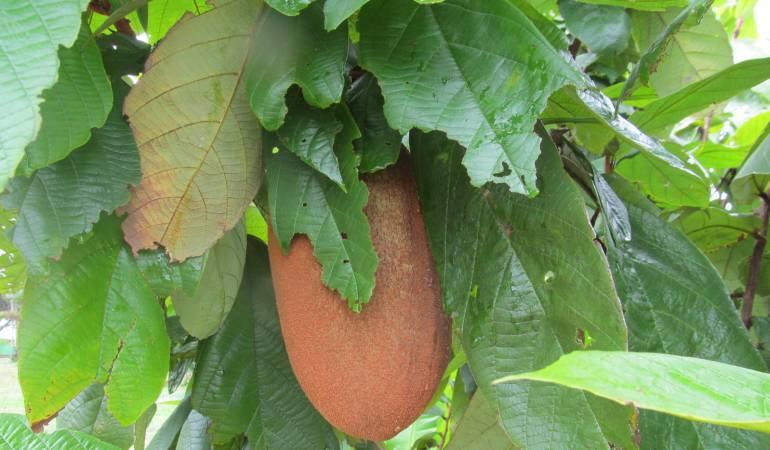 Fruto de copoazú