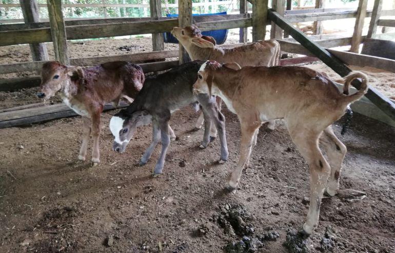 Vaca parió cuatro terneros en Caquetá