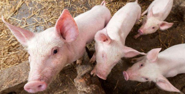 Cerdos: Mitos sobre la carne de cerdo: bien procesada es saludable
