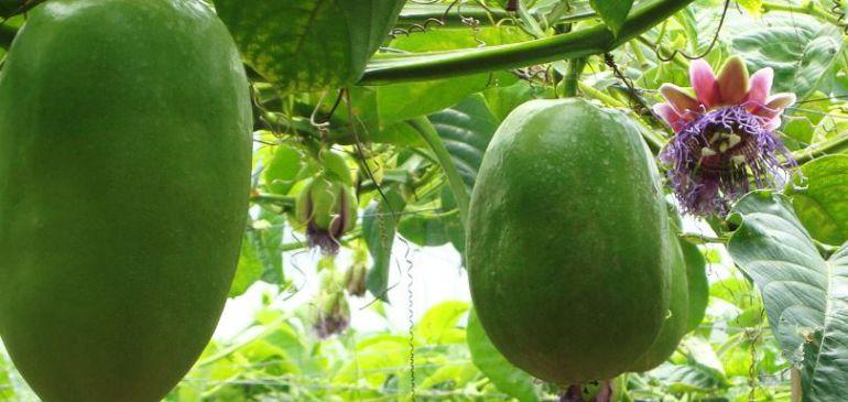 flores y frutos: Pasifloras, frutos de la pasión, con gran potencial exportador