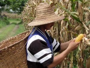 Producción maíz colombia: Colombia fortalecerá producción de maíz para bajar importaciones