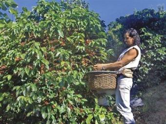 Se acabaron los recolectores de café en Colombia: Fedecafe