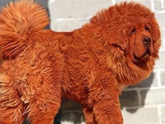 Un mastín tibetano rojo es el perro más caro del mundo