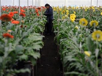 Flores, el primer producto que Colombia enviará a EEUU tras la entrada en vigencia del TLC
