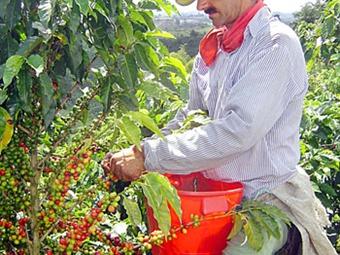 La Araña Roja invade los cultivos de café en Caldas