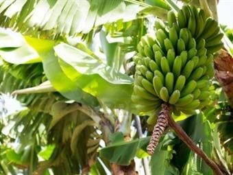 Colombia pasó del primer al tercer lugar en exportación de plátano en el mundo