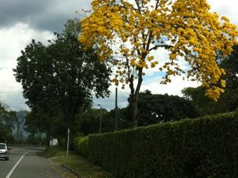 Más de 600.000 árboles sembrará Caracol Radio en Risaralda por cumpleaños de Pereira