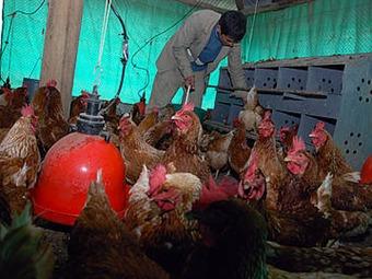 """Gallinas """"felices"""" producen más huevos y de mejor calidad"""