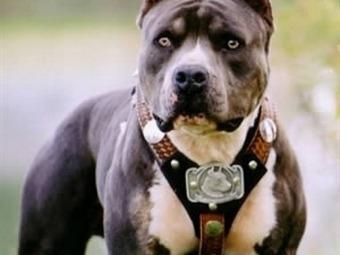 Muere niño de dos años atacado por perro pit bull